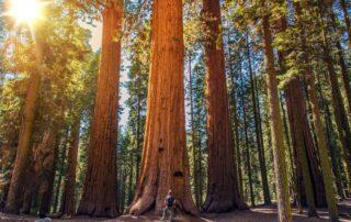 wandelaar bij oud Sequoia bos